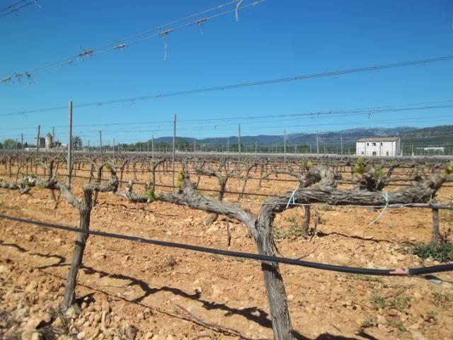 Binnisalem José L Ferrer vineyard tour 100_0794