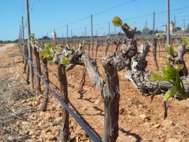 Binnisalem José L Ferrer vineyard tour 100_0798