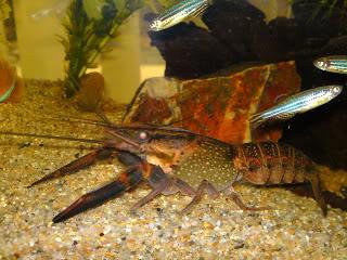 Cherax quadricarinatus:  More New Pics 4/19/11 10-219