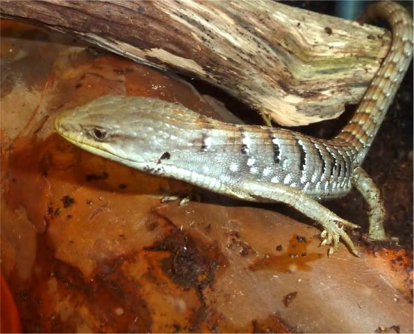 **5-17-2011 New Pics** Check out my new alligator lizard ;) P1010257