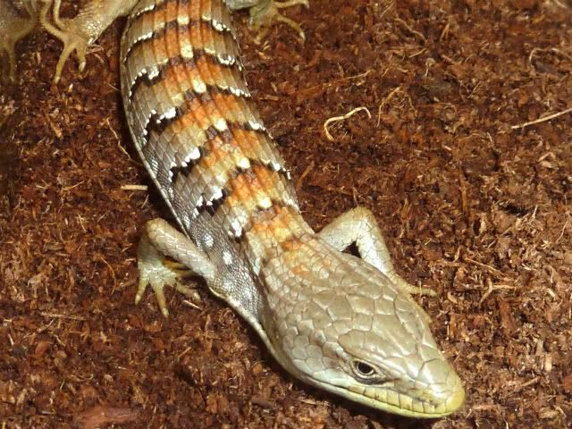 **5-17-2011 New Pics** Check out my new alligator lizard ;) P1010266