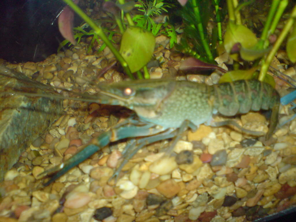 Ever Kept Crayfish? DSC00237