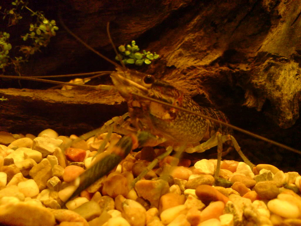 Ever Kept Crayfish? DSC00242