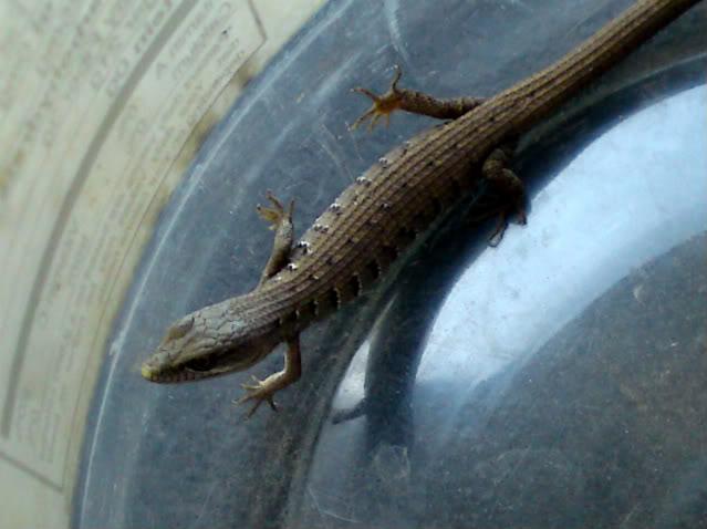 Lizard Fishin'! DSC00272