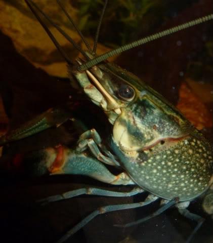 Cherax quadricarinatus:  More New Pics 4/19/11 Krakensface