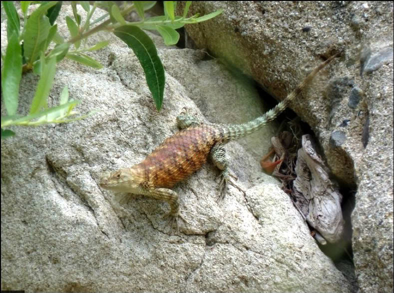 Granite Spiny Lizard OrangeSpinyLizard