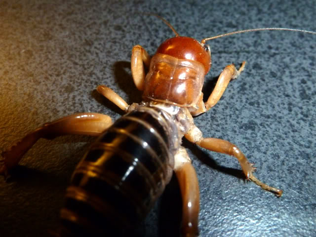 Jerusalem Cricket P1000638