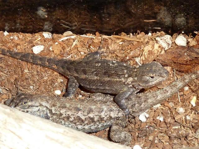 Some Western Fence Lizard Love! P1000783