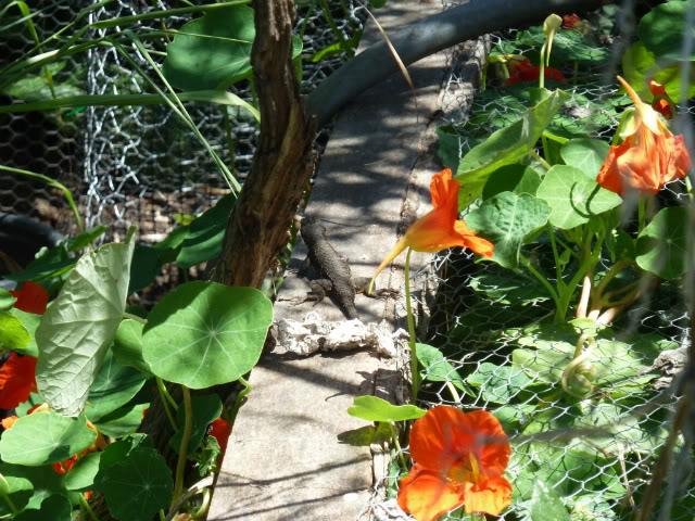 Some Western Fence Lizard Love! P1010279