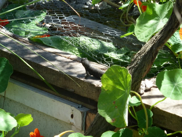 Some Western Fence Lizard Love! P1010280