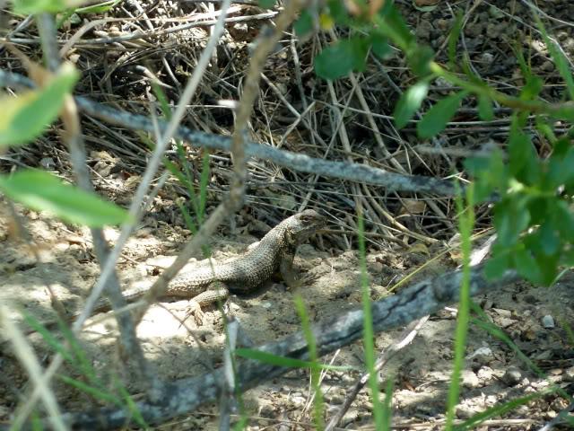 Some Western Fence Lizard Love! P1010294