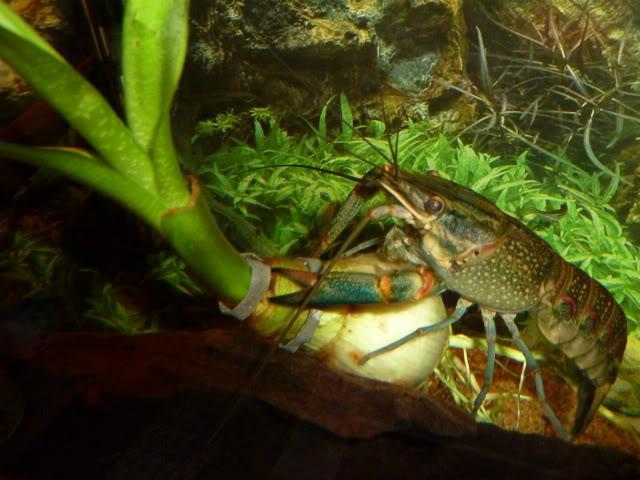 Cherax quadricarinatus:  More New Pics 4/19/11 Kraken