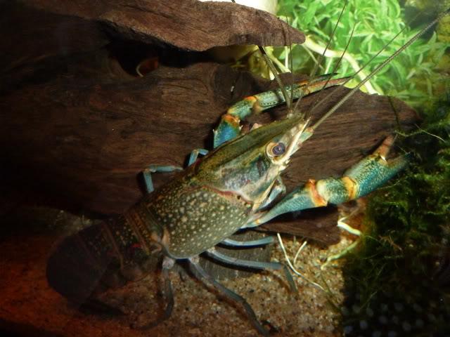 Cherax quadricarinatus:  More New Pics 4/19/11 Kraken2