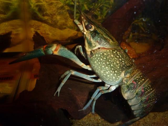 Cherax quadricarinatus:  More New Pics 4/19/11 Krakenside