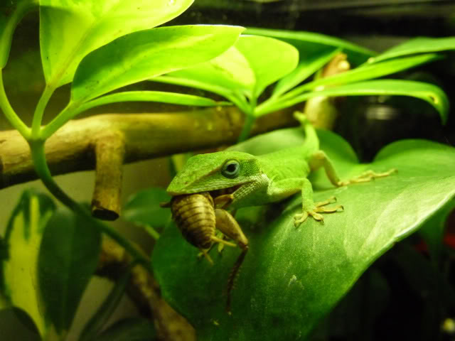 Anole Eating Cricket Pics Stickers