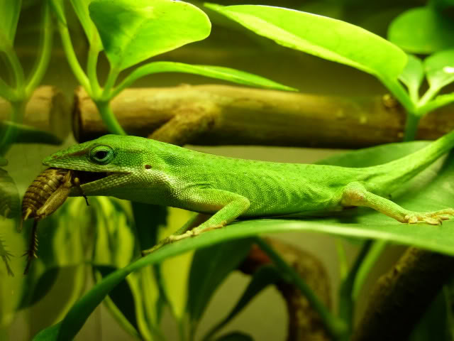 Anole Eating Cricket Pics Stickers2