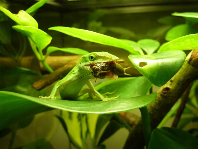 Anole Eating Cricket Pics Stickers3