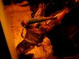 Cherax quadricarinatus:  More New Pics 4/19/11 Th_TheKrakenEatingGoldfish
