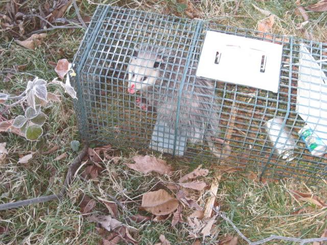A few from this year TRAPPING11-12-10007