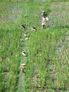 அழகான நெல் வயல்கள்2 - Page 14 Bali2009645