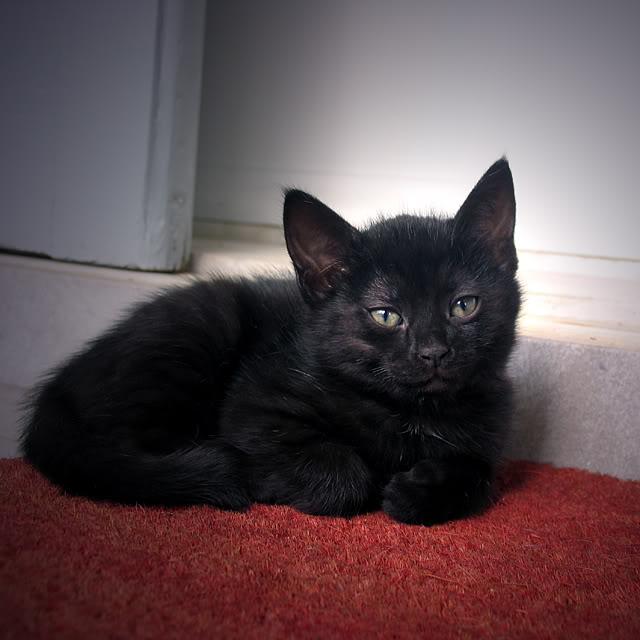 Χαρίζονται τρία Μικρά Μαύρα Διαμαντάκια (1,5 μηνών)! IMG_9583_cropped