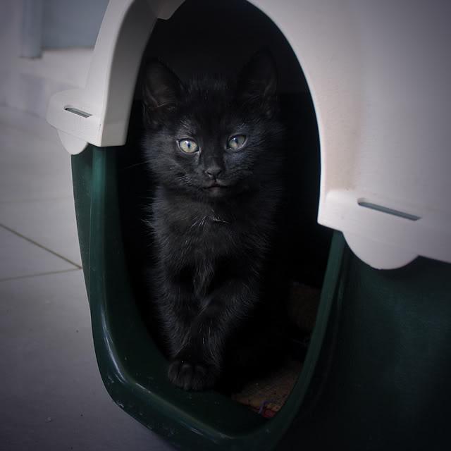 Χαρίζονται τρία Μικρά Μαύρα Διαμαντάκια (1,5 μηνών)! IMG_9593_cropped