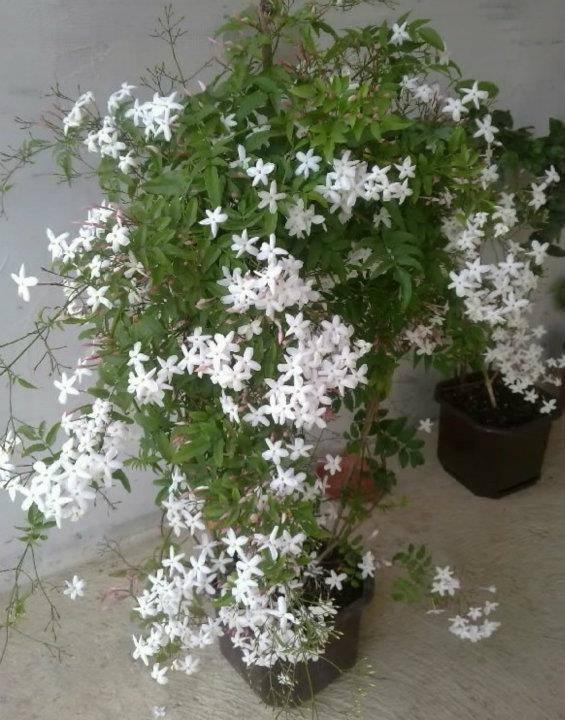 Jasmin--Jasminum polyanthum 304132_2221740474607_603406848_n