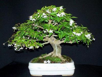 Wrightia religiosa Wrightia-religiosa-bonsai-