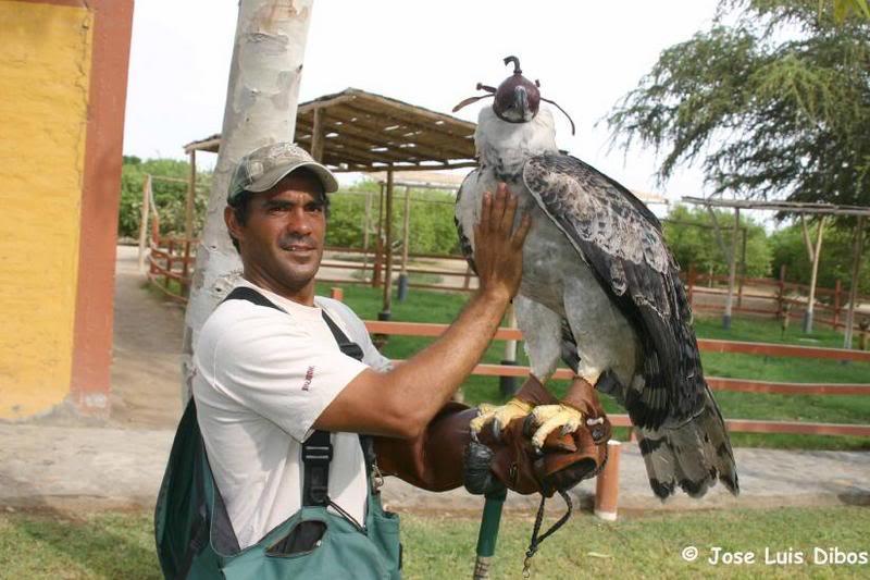 Comparação do tamanho de águias  com relação ao homem. Harpy