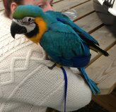 Lost Macaw blue and gold - Page 2 Alfie1_zps4521ab30