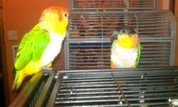 My friends Caiques have got out!!!! Netstwo_zps3e0c88d1