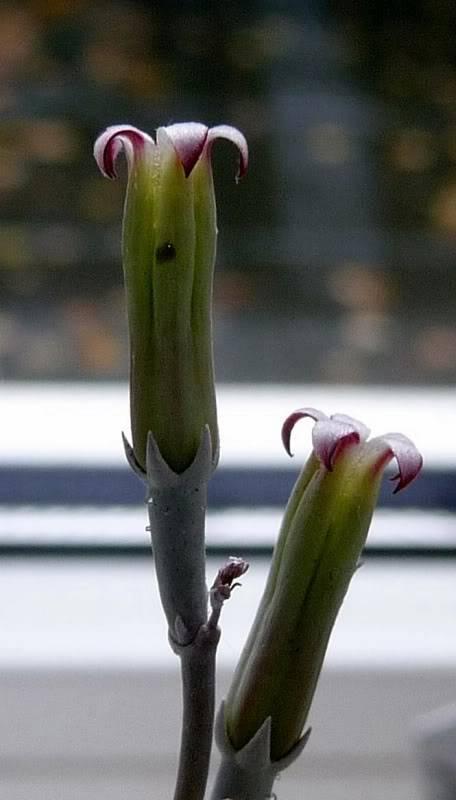 un fleur jolie [ Adromischus ] Adromischusmarianniae0031