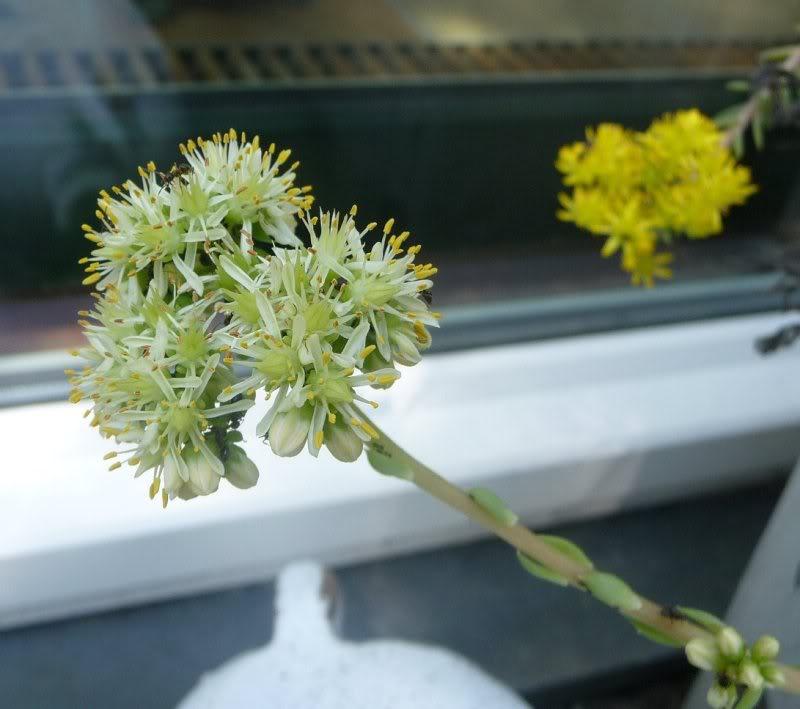 Les simples sont belles aussi (Quelques Sedums) Sedumreflexum02011