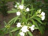 Nerium oleander - Pagina 5 Th_P6120238