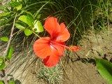 Hibiscus rosa sinensis - Pagina 39 Th_P6140251