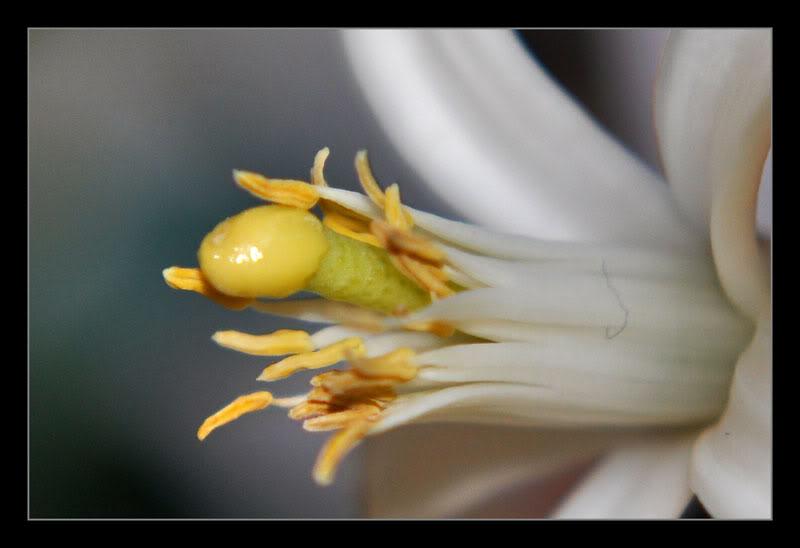 Uporedite vaše voljeno biće sa cvijetom Limunovcvet18