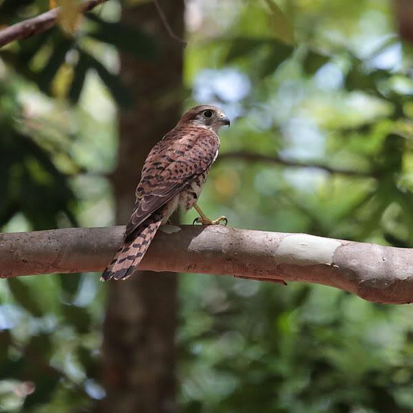 Falconiformes. sub Falconidae - sub fam Falconinae - gênero Falco - Página 2 _MG_1591sb