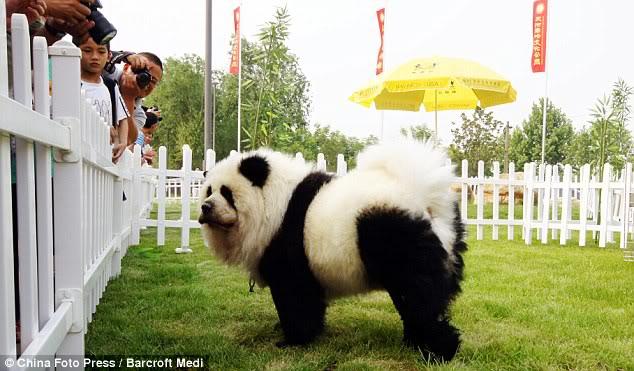 Anjing pun Kini Bisa Disulap Menjadi Harimau Dan Panda 28fa61f7