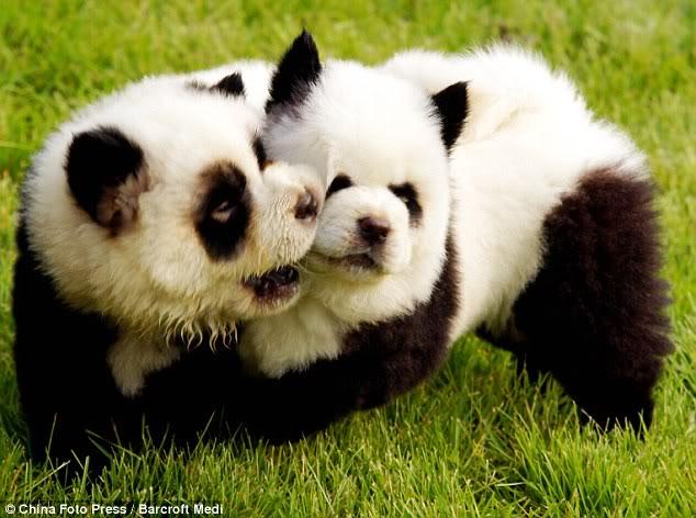 Anjing pun Kini Bisa Disulap Menjadi Harimau Dan Panda 6eee47df