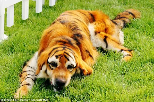 Anjing pun Kini Bisa Disulap Menjadi Harimau Dan Panda B12d056b