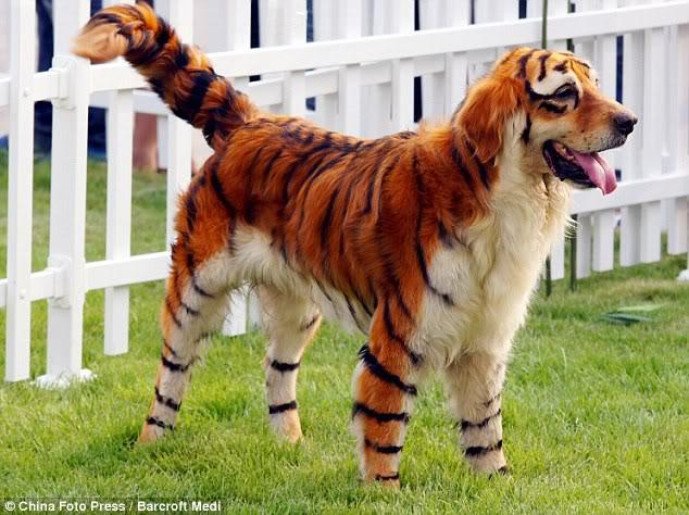 Anjing pun Kini Bisa Disulap Menjadi Harimau Dan Panda B3f4fa88