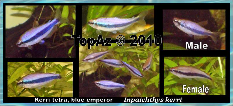 Kerri tetra, blue emperor;Inpaichthys kerri  Kerris