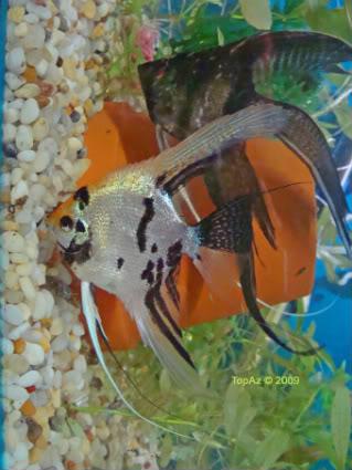 Angelfish (Pterophyllum scalare) Angels