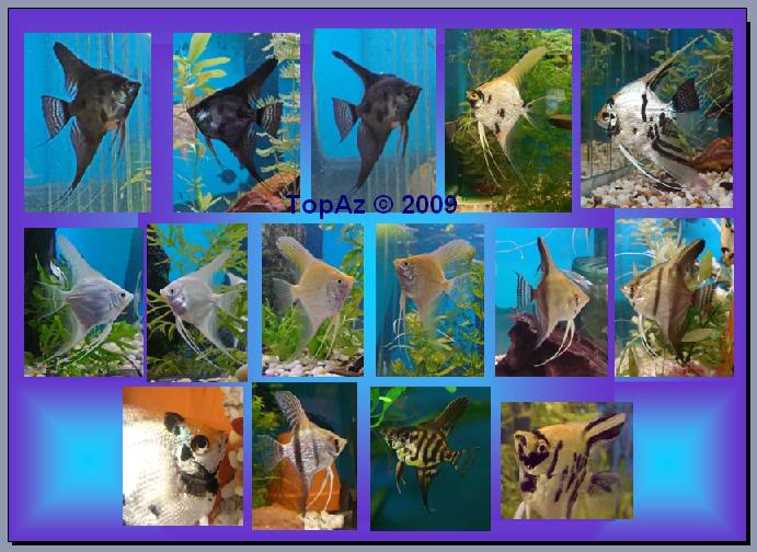 Angelfish (Pterophyllum scalare) Angelss