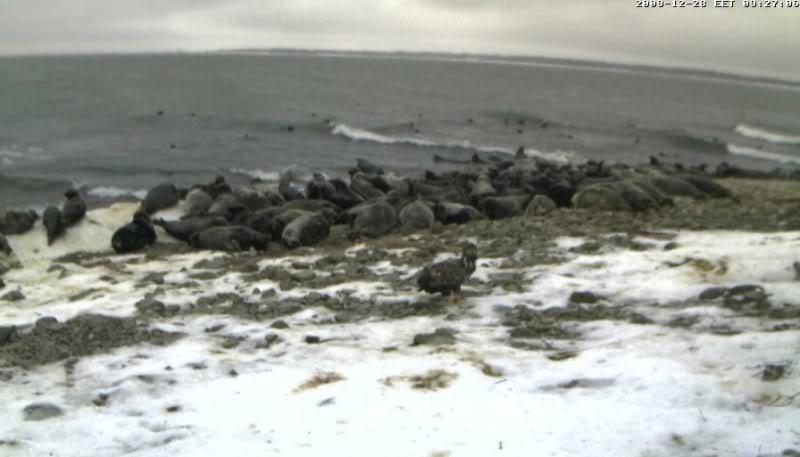 Grey Seal webcam - Page 6 Akotkas22009-12-2809-27-29-82