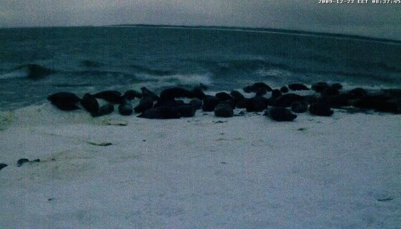 Grey Seal webcam - Page 6 Aseals2009-12-2308-39-39-03