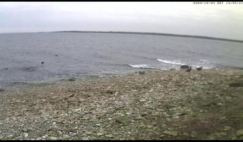 Grey Seal webcam - Page 5 Kotkad