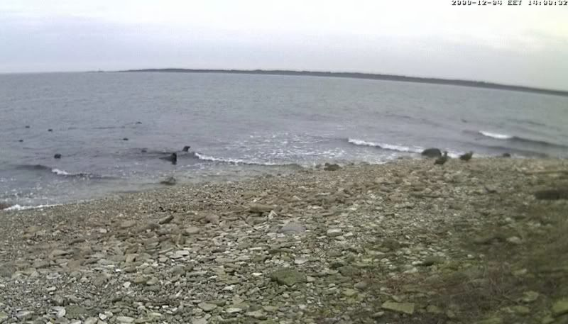Grey Seal webcam - Page 5 Kotkad2009-12-0413-59-20-48