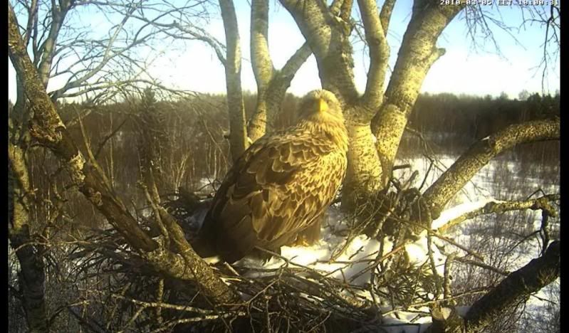 White-tailed Eagle Camera Lovers - Page 2 Hellooo
