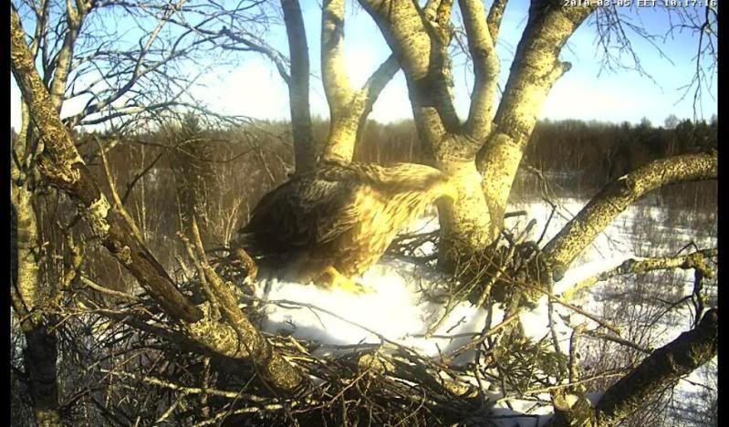 White-tailed Eagle Camera Lovers - Page 2 Jalgkylmetablumes